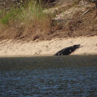 Crocodile at picnic spot in main basin