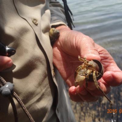 Hermit crab Kosi estuary