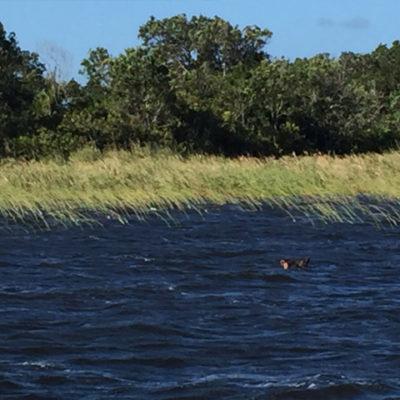 Hippo in Lake Amanzimnyana