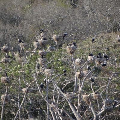White Breasted Cormorants breeding area in Main basin